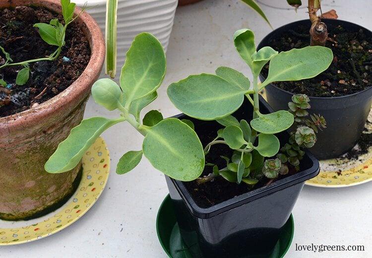 propagate-succulent