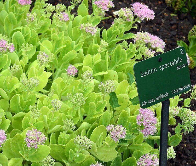 creating a new sedum spectabile plant garden living and