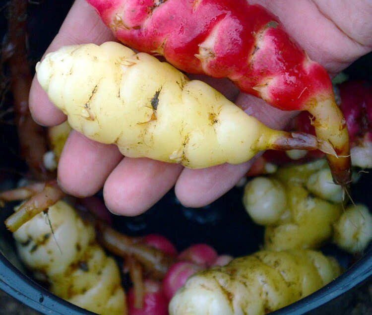 Harvesting Oca and working on preparing a new allotment plot for the growing season