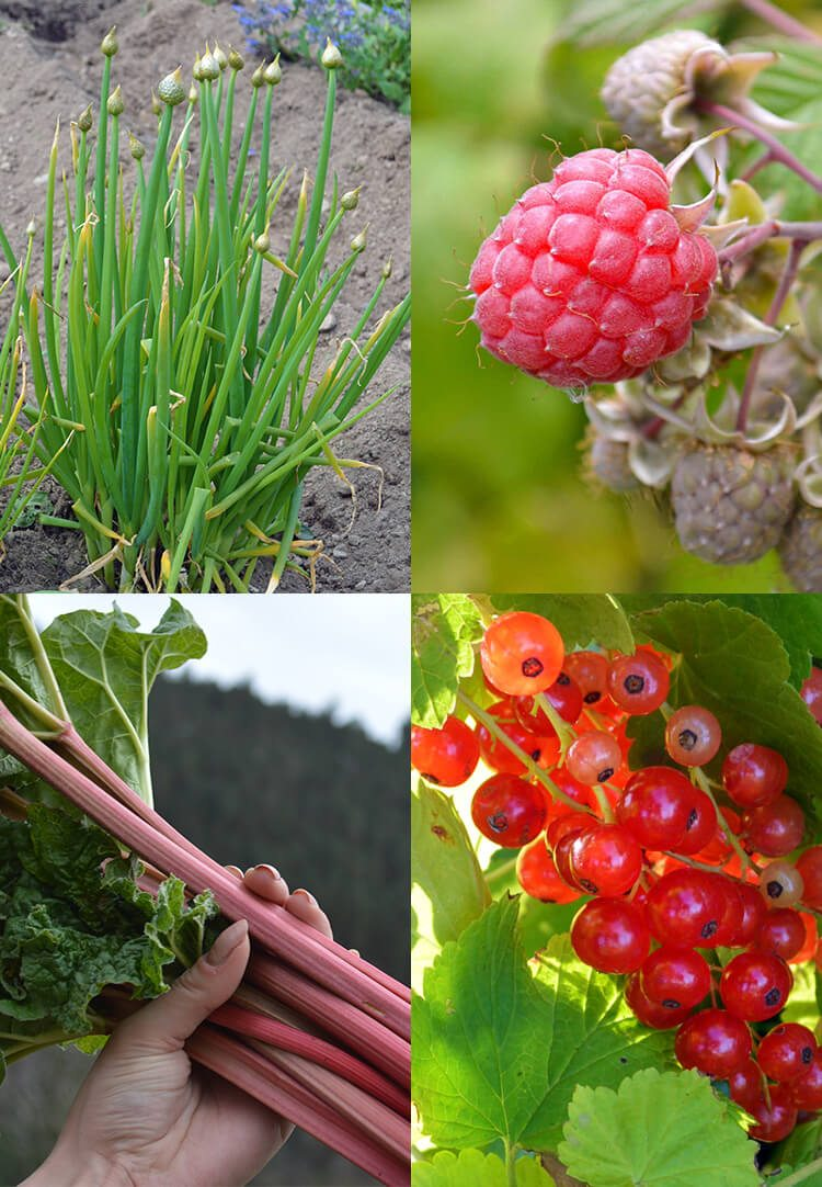 Planning a summer vegetable garden - including perennial crops such as Welsh Onion, Raspberries, Red Currant, and Rhubarb