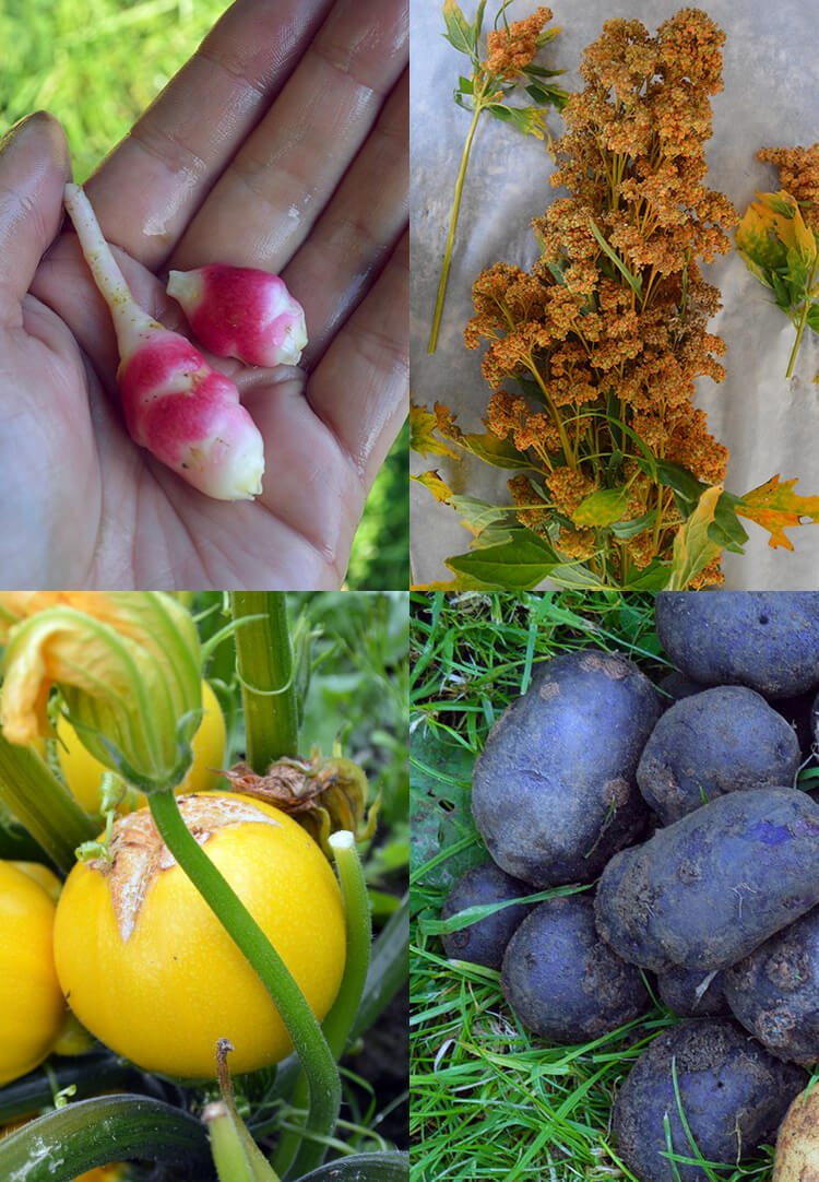 Planning a summer vegetable garden - including growing unusual varieties such as Oca, Quinoa, Ball-zucchini, and Purple Potatoes