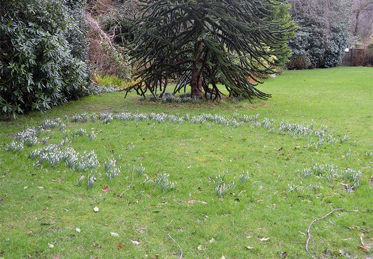 How to grow Snowdrops -- the year's first flowers