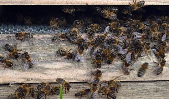 Honeybee Threat: Danger of the Varroa Mite reaching the Isle of Man