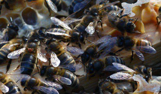 I've just had a beekeeping scare: finding the Varroa lookalike 'Bee Louse' on my honeybees