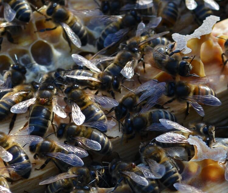 I've just had a beekeeping scare: finding the Varroa lookalike 'Bee Louse' on my honeybees