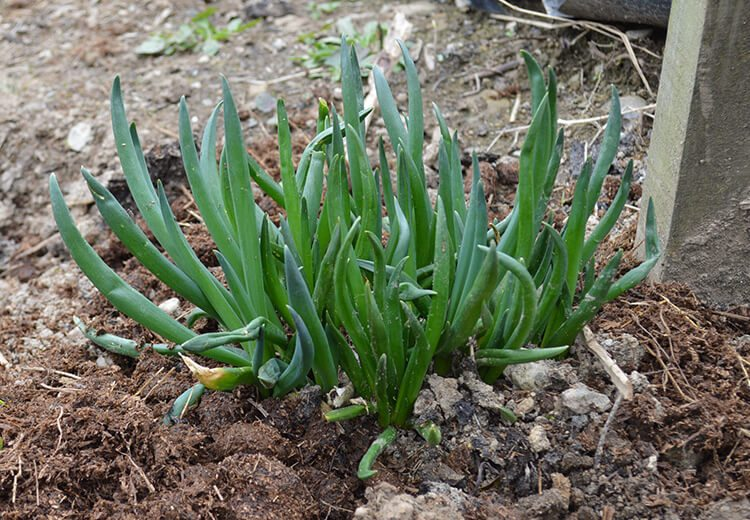 March in the Allotment - Lovely Greens gives an update on the plot including news on transplanting soft-fruit, mulching, and the New Zealand Flatworm