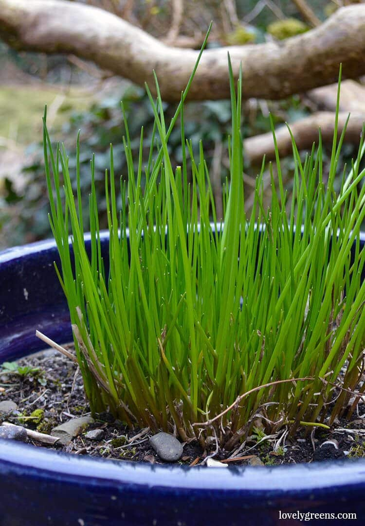 7 Easy-to-grow Fruits & Vegetables: Chives