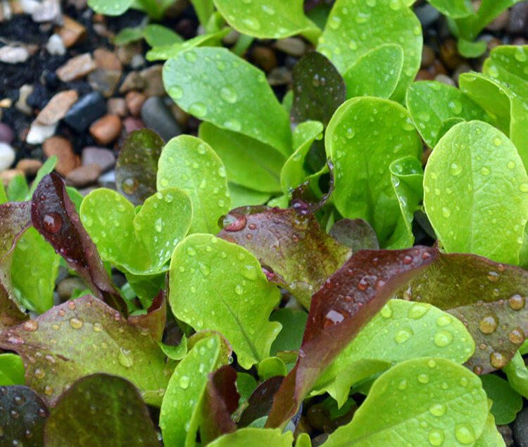 How to Grow Salad Greens in Containers