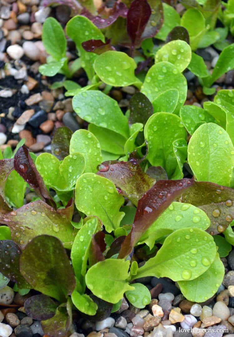 How to Grow Salad Greens in small boxes and containers #growyourown #growlettuce #growsalad #gardening #lovelygreens