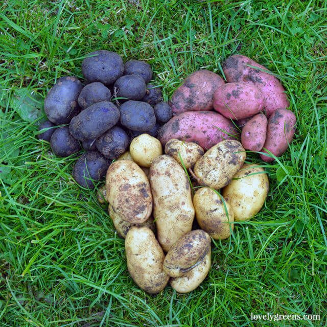 7 Easy-to-grow Fruits & Vegetables: Early Potatoes
