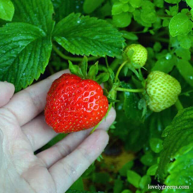 7 Easy-to-grow Fruits & Vegetables: Strawberries