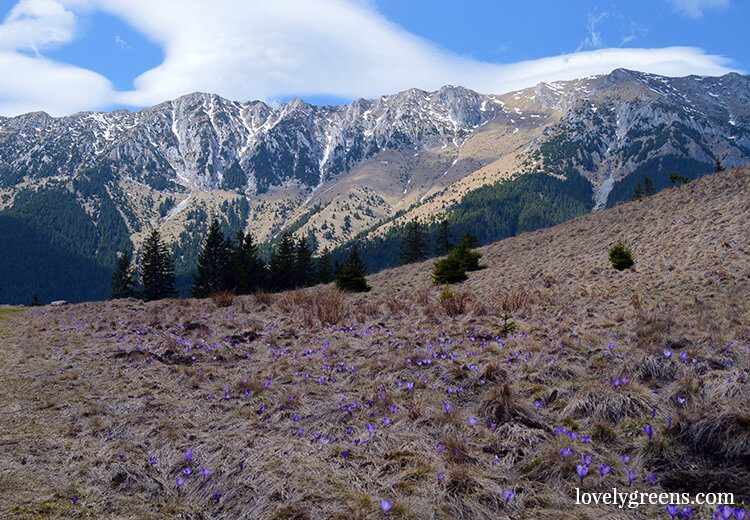 Crocus blooming on the mountain. Walking and hiking through the villages and mountain trails of the Piatra Craiului national park in Romania. An area of natural beauty and a place where traditional farming life still exists to this day.