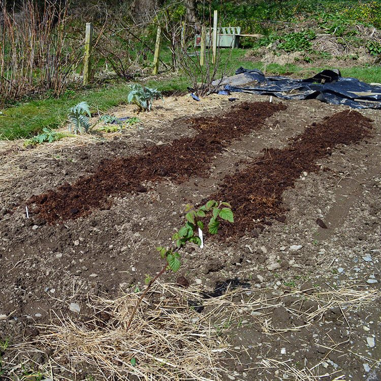 Composted horse manure spread over two rows of Early Potatoes