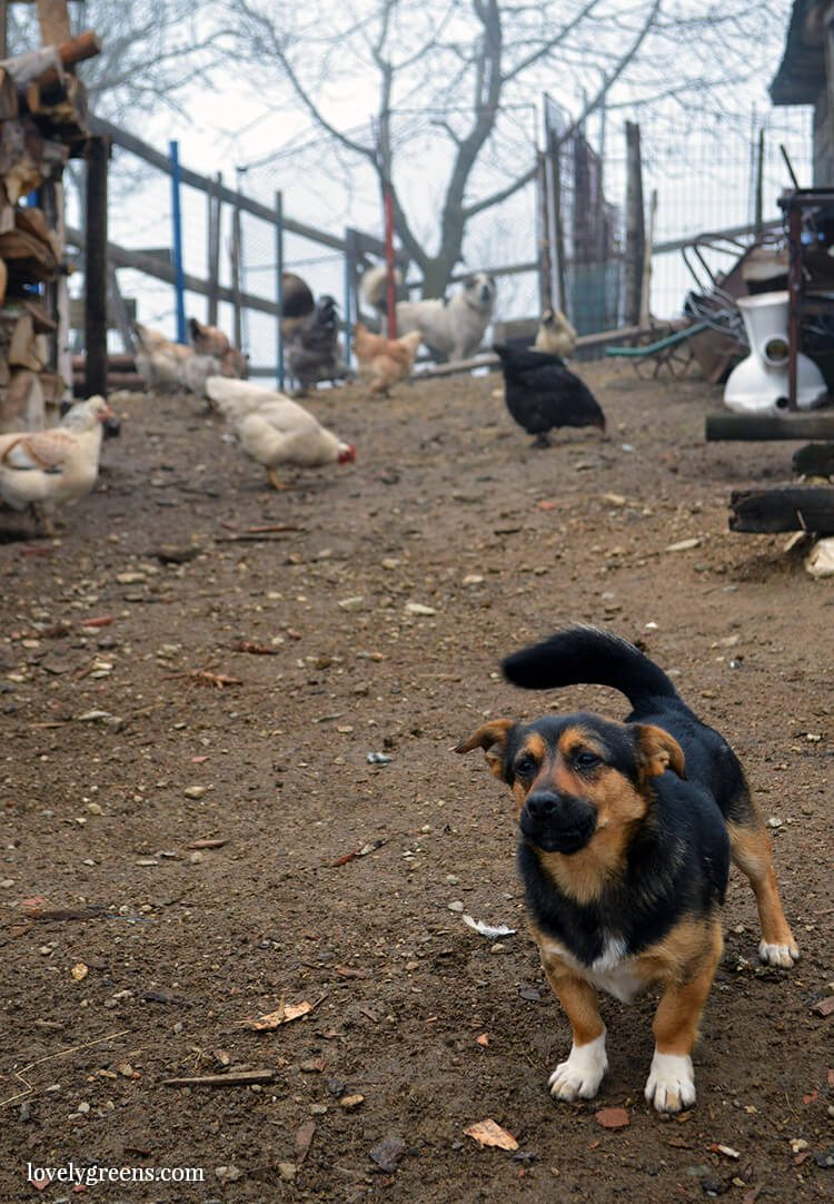 Even dogs have their jobs on the farm: Traditional farming and simple living in the Romanian hills inside the Piatra Craiului national park