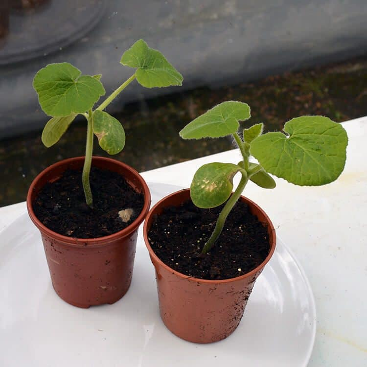Honeyboat Squash plants