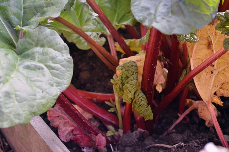 Make country wine with the ruby red stems of spring Rhubarb