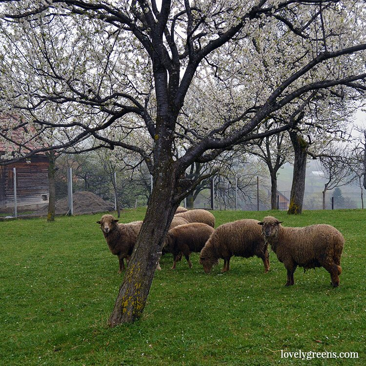 Sheep grazing in an orchard: Traditional farming and simple living in the Romanian hills inside the Piatra Craiului national park