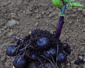 Vegetable garden in May: planting purple potatoes, propagating Basil, forcing Rhubarb, and building a pond.