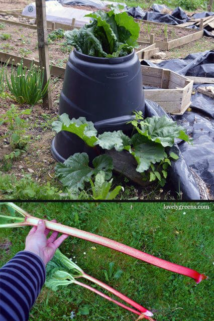 A great way to 'Force' your Rhubarb is in a large open ended container like this. The plant still gets light but the stems grow extra long and vibrantly red.