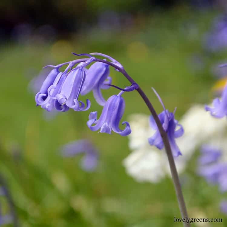 Grow Bluebells in your garden for early blooms that attract wildlife and give a splash of early colour.