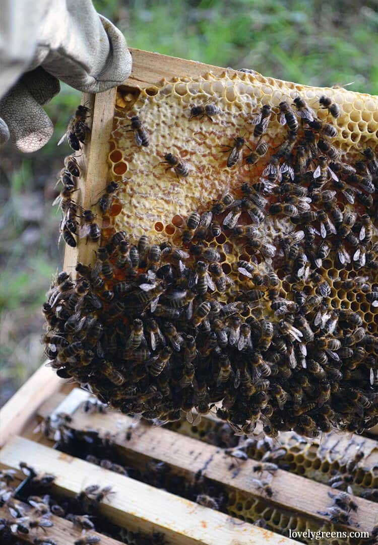 Bringing back the 'British Black' honeybee on the Isle of Man