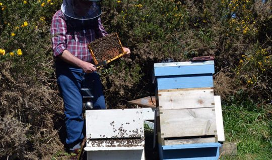 Breeding honeybees: Roger Patterson inspects my honeybees and finds that one of them is an ideal candidate for the 'Bee Improvement Programme'