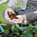Spring Gardening: purple potatoes, propagating Basil, & forcing Rhubarb