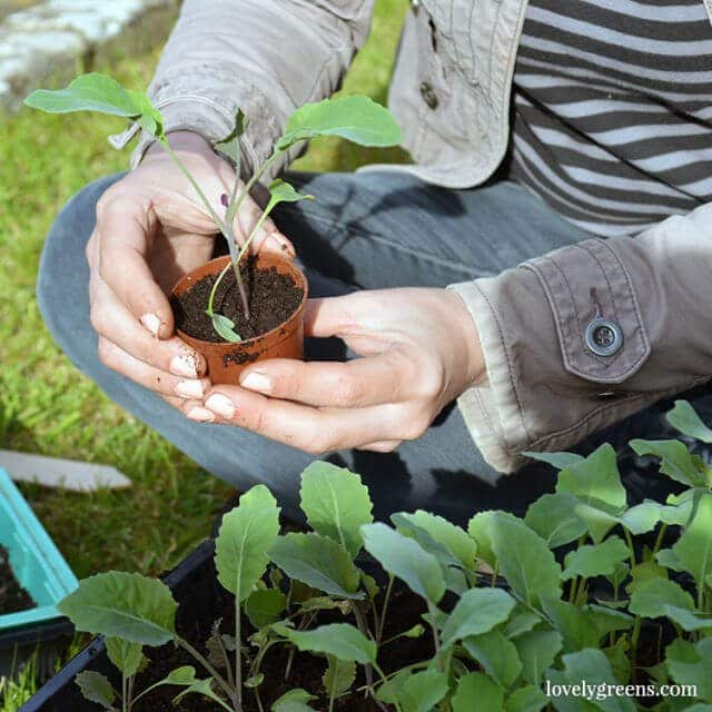 Spring Gardening: purple potatoes, propagating Basil, & forcing Rhubarb