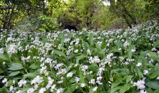 How to find, pick, and use Wild Garlic #ramsons #wildfood #foraging #wildgarlic