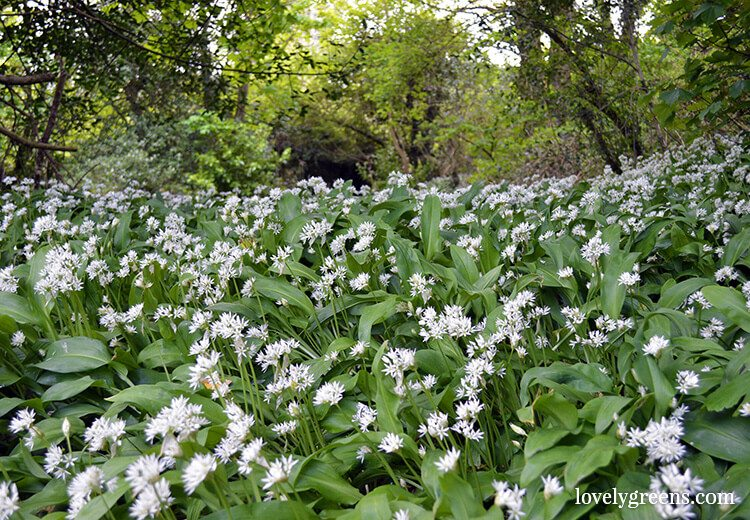 Wild Food Foraging: Finding and using Wild Garlic