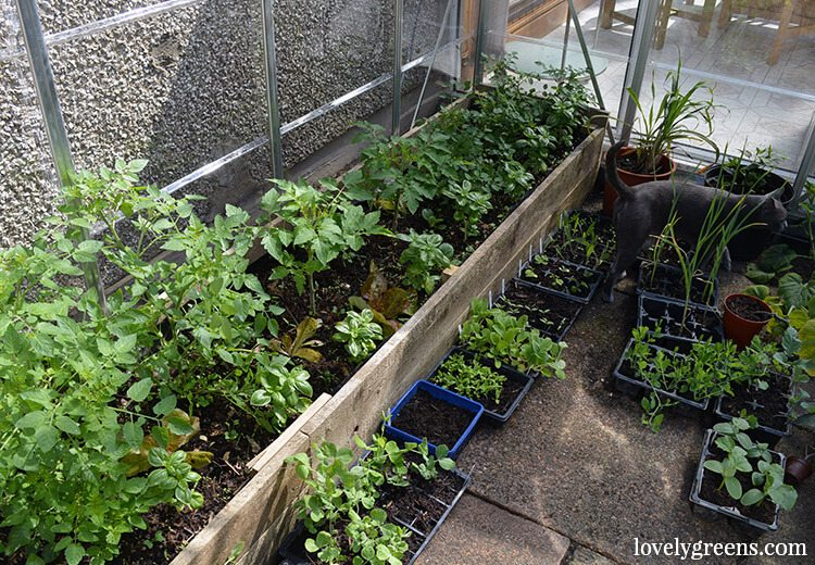 A wooden trough filled with garden compost is the perfect way to grow greenhouse tomatoes.