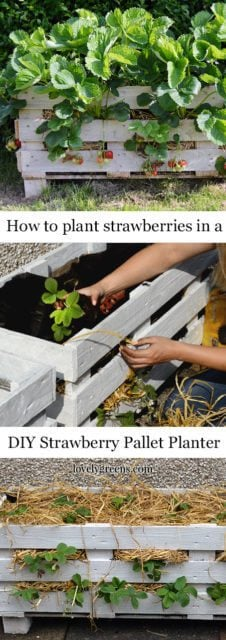 How to plant strawberries in a Strawberry Pallet Planter #lovelygreens #growstrawberries #organicgarden