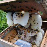Beekeeping Harvest: Crushing and Straining Honey