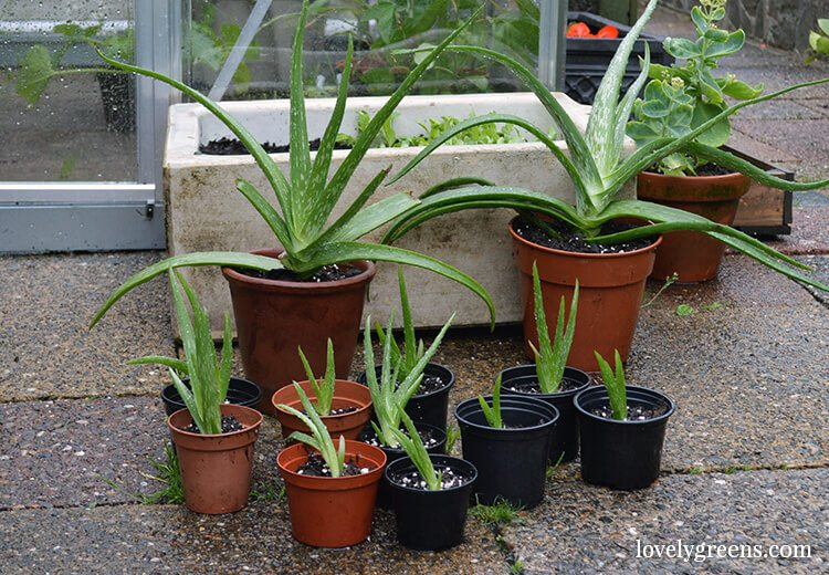How to get plants for free by propagating Aloe Vera