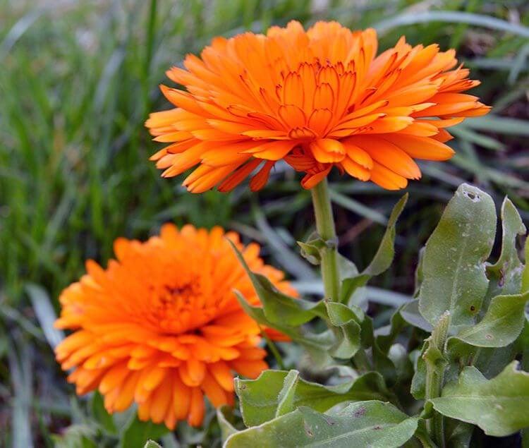How to grow Calendula officinalis, a golden edible flower and healing skin herb.