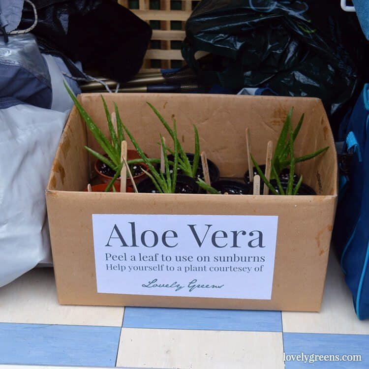 How to pot up baby Aloe Vera plants that have grown off a parent plant