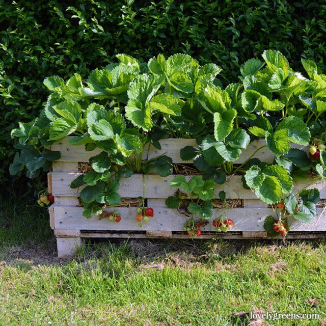 How to Make a Better Strawberry Pallet Planter - Lovely Greens
