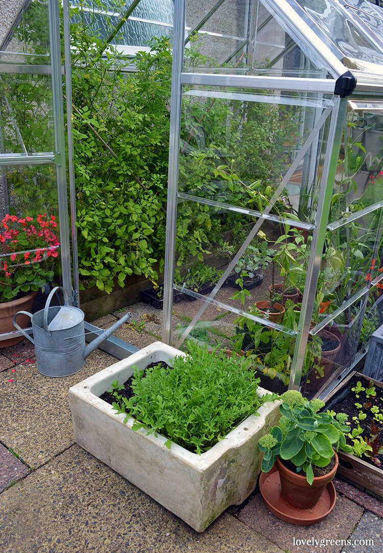 A vintage sink planter filled with green rocket outside an overflowing greenhouse