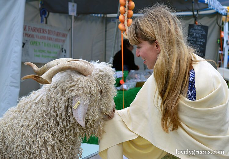 Angora goat at the Royal Manx Agricultural Show on the Isle of Man