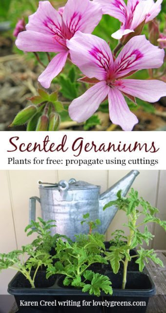 Plants for free: How to propagate Scented Geraniums. Not your ordinary garden geraniums, scented geraniums smell like citrusy roses #propagate #freeplants #flowergarden #rosegeranium #sensorygarden
