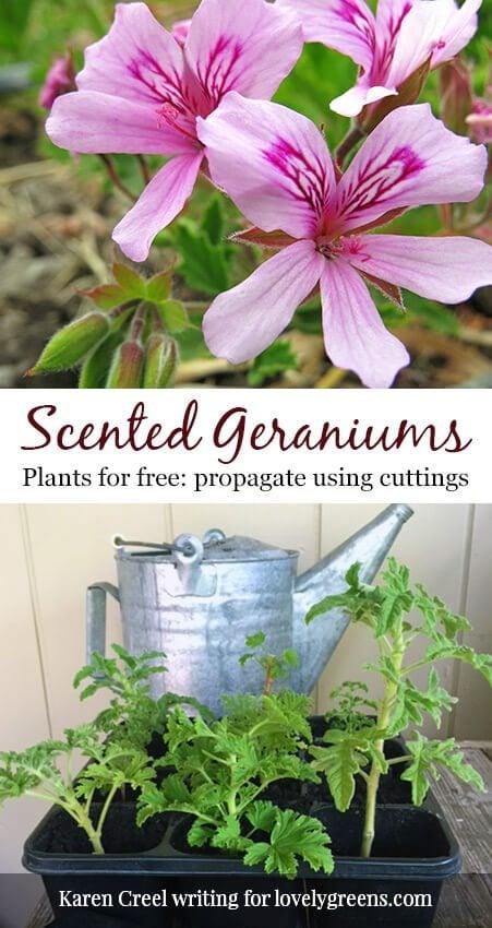 Plants for free: How to propagate Scented Geraniums. Not your ordinary garden geraniums, scented geraniums smell like citrusy roses #propagate #freeplants #flowergarden #rosegeranium #sensorygarden