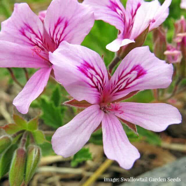 rose-scented-geranium