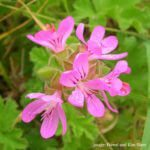 How to propagate Scented Geraniums