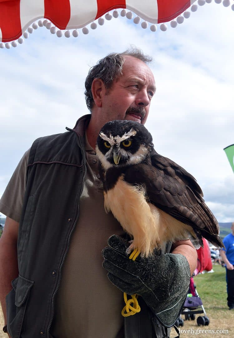 Spectacled owl at the Royal Manx Agricultural Show on the Isle of Man