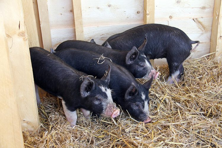 8 Things You Should Know about Raising Pigs
