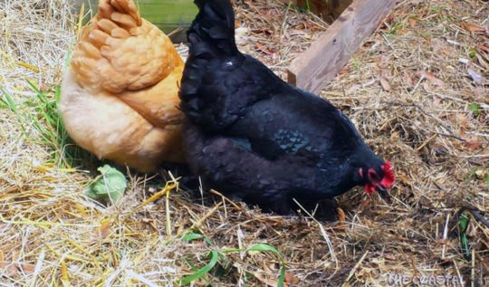 How to start an Urban Homestead: backyard chickens