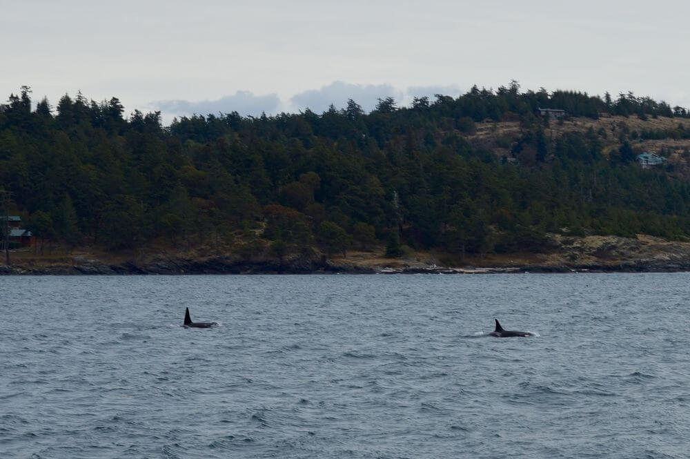 Seeing Orca Whales in the Wild: The best way to see Orcas for the first time is in the wild. Here's our experience of a whale watching tour out of Anacortes, Washington