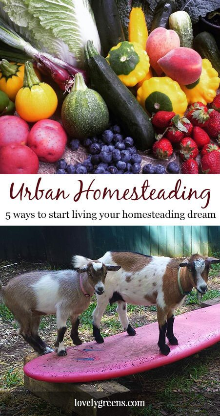 Tips for starting an Urban Homestead -- growing a food garden, keeping chickens, beekeeping, and practical ideas on becoming a homesteader #homesteading #selfsufficient #urbangarden #urbangardening #farming #backyardchickens #foodgarden #beekeeping