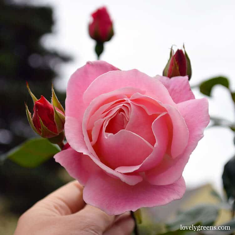 A tour of my garden after a 5-week vacation: pink roses