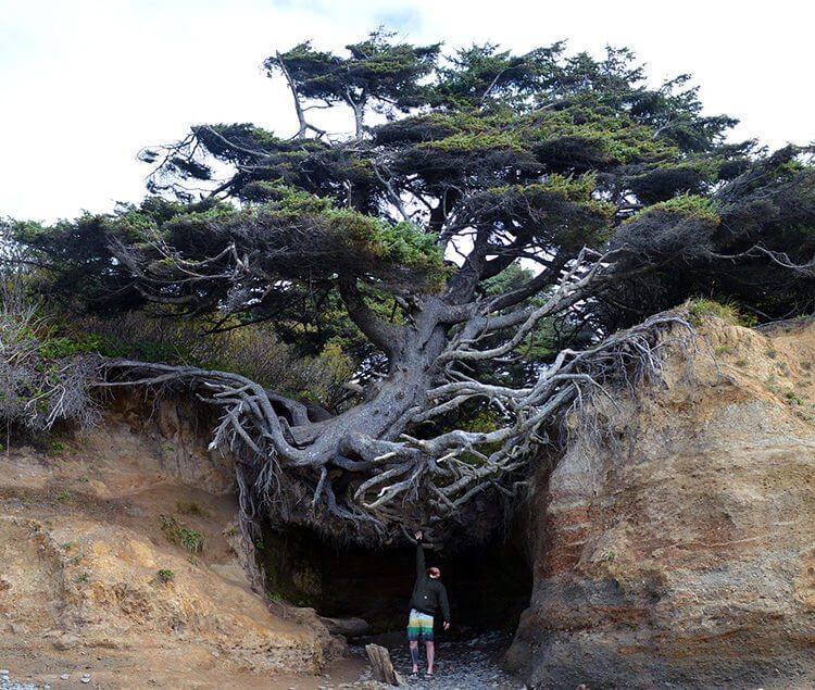 tree-of-life-kalaloch